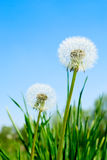 Fluffy dandelion Stock Photo