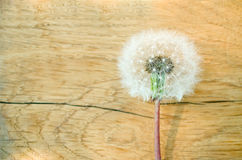 Fluffy dandelion Stock Images