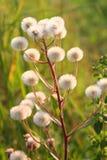 Fluffy dandelion Royalty Free Stock Photo