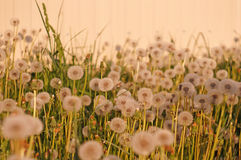 Fluffy dandelion on a background of bright light wall at sunset Stock Photo