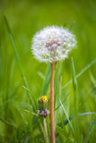 Fluffy Dandelion On A Background Of Green Grass Stock Photography