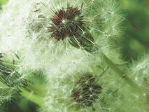Fluffy dandelion. Background. Selective focus Royalty Free Stock Image