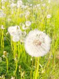 Fluffy dandelion ball of seeds, delicate flower royalty free stock image
