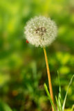 A fluffy dandelion Stock Photos