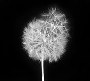 Fluffy dandelion Royalty Free Stock Photography
