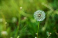 Fluffy Dandelion in Bloom. Spring Dandelion Flowers Green Grass Nature background. Fluffy Dandelion in Bloom. Spring Dandelion Flowers Green Grass stock photography