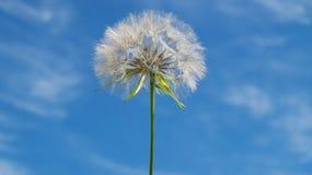 Fluffy dandelion Stock Image