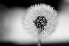 Fluffy dandelion, bokeh BW Royalty Free Stock Photo