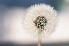 Fluffy dandelion, bokeh. Quality picture of a fluffy dandelion flower, clear and calm image, soft tones, low noise. For different purposes (design, graphics Royalty Free Stock Photo