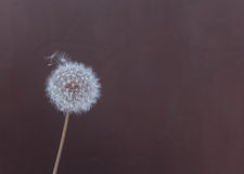 Fluffy dandelion on a brown background. Abstract Stock Image