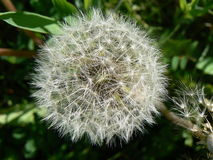 A fluffy dandelion Royalty Free Stock Image