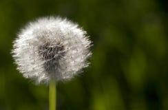 Fluffy dandelion, close-up Stock Images
