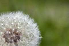 Fluffy dandelion, close-up Stock Photography