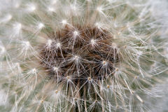 Fluffy dandelion, close-up Royalty Free Stock Photography