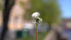 Fluffy dandelion close-up, man blows it away