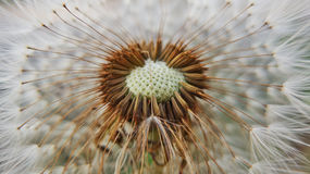Fluffy dandelion with an empty core Royalty Free Stock Image