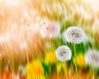 Fluffy dandelion flower against the background of the summer lan Royalty Free Stock Images