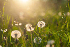 Fluffy dandelion flower against the background of the summer sunset and green grass Royalty Free Stock Images