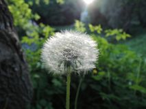 Fluffy dandelion flower on the field in the evening in the sunset light royalty free stock photos