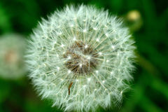 Fluffy dandelion flower isolated on green background Royalty Free Stock Photography