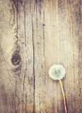 Fluffy dandelion flower lies on a wooden plank Royalty Free Stock Photography