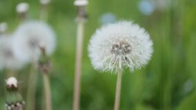 Fluffy dandelion flower seed heads swaying in the wind on the meadow