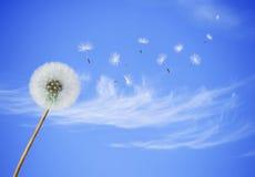 Fluffy dandelion Royalty Free Stock Image