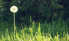 Fluffy dandelion flower stands alone on the garden lawn Stock Photos