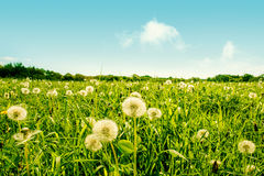 Fluffy dandelion flowers on a green field Stock Photos