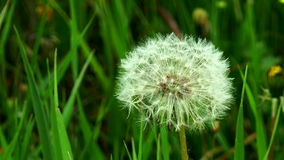 Fluffy dandelion. In the grass stock video footage