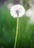 Fluffy dandelion in the grass Stock Image