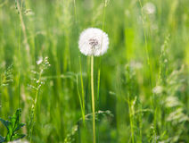 Fluffy dandelion in the grass Royalty Free Stock Photography