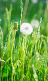 Fluffy dandelion in the grass Royalty Free Stock Photos