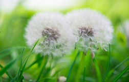 Fluffy dandelion in the grass Stock Images