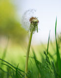 Fluffy dandelion in the grass Stock Photos
