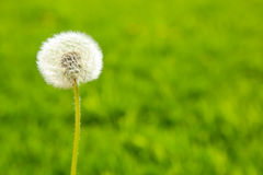 Fluffy dandelion on a green background Royalty Free Stock Image