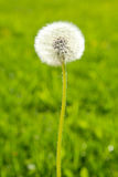 Fluffy dandelion on a green background Royalty Free Stock Images