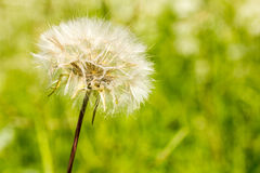 Fluffy dandelion on green background Royalty Free Stock Photography