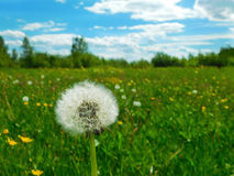 Fluffy dandelion in a green field Royalty Free Stock Photos