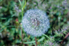 Fluffy dandelion and green spring grass. Fluffy dandelion on  background of green spring grass Royalty Free Stock Image