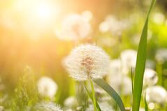 Free Fluffy Dandelion Growing In Field At Sunset. Summering Or Spring Natural Background Royalty Free Stock Photos - 215578598