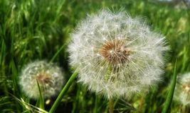 Round dandelion stock photos