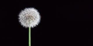 Fluffy dandelion isolated. On black background royalty free stock images