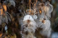 Fluffy dandelion. Macro Photo Nature plant fluffy dandelion. Blooming white dandelion flower on the background of plants and grass royalty free stock image