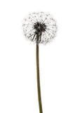 Fluffy dandelion Royalty Free Stock Photos