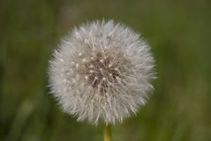 Fluffy dandelion with mature seeds, whole. Close-up. stock photography