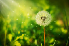 A fluffy dandelion Stock Image