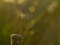 Fluffy dandelion parachute Royalty Free Stock Images