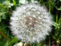Fluffy dandelion. Perfect circle of fluffy dandelion Stock Photos