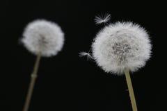 Fluffy dandelion puff on black  2 Stock Photo